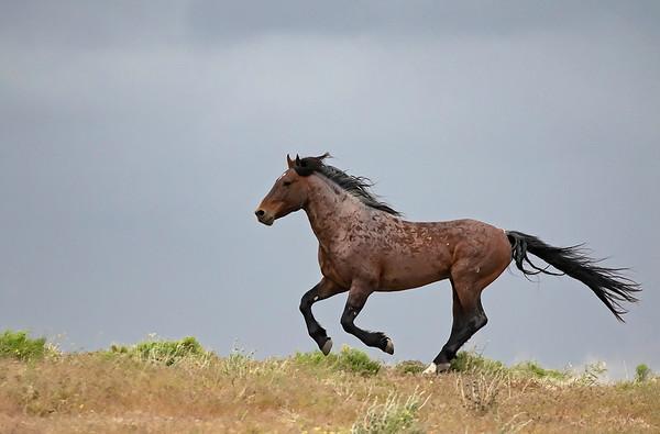 Onaqui Wild Mustang   Utah