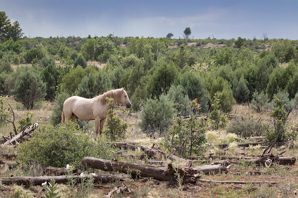 Heber Wild Stallion | Arizona