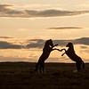 Onaqui Stallions | Great Desert Basin | Utah