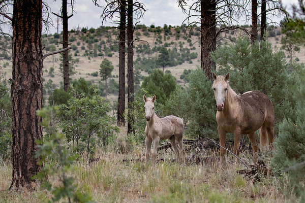 Heber Wild Mustangs | Arizona