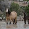 Onaqui Mustangs | Utah