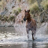 Salt River Mustang