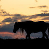 """Old Man"" - Onaqui Wild Stallion 