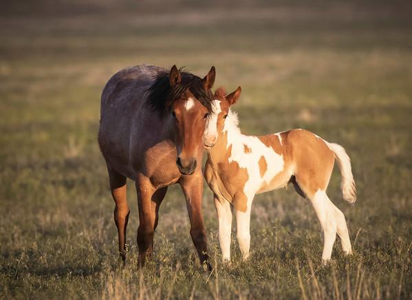 Onaqui Mustangs | Great Desert Basin | Utah