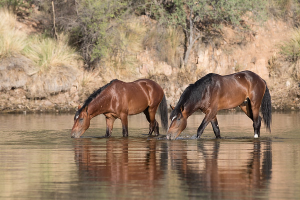 Salt River Mustangs | Saguaro Lake | Tonto National Forest | Arizona