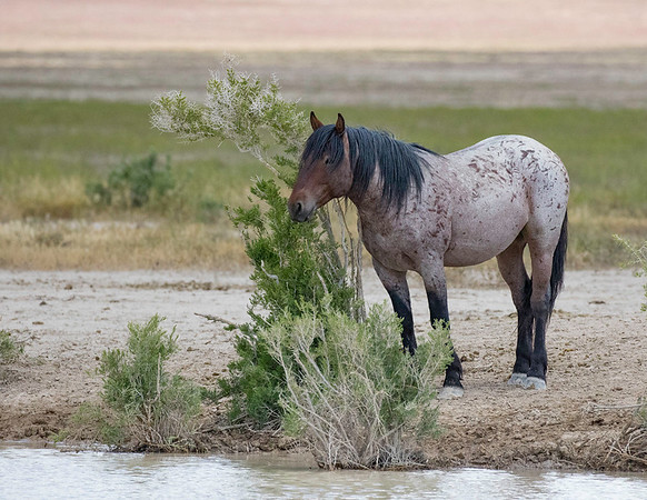 Onaqui Wild Mustang | Utah