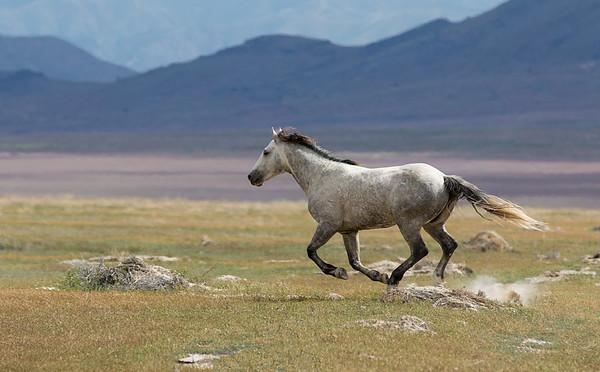 Onaqui Mustang | Utah