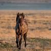 Onaqui Wild Stallion | Great Desert Basin | Utah