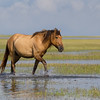 Barrier Island Wild Horse | Carrot Island | North Carolina