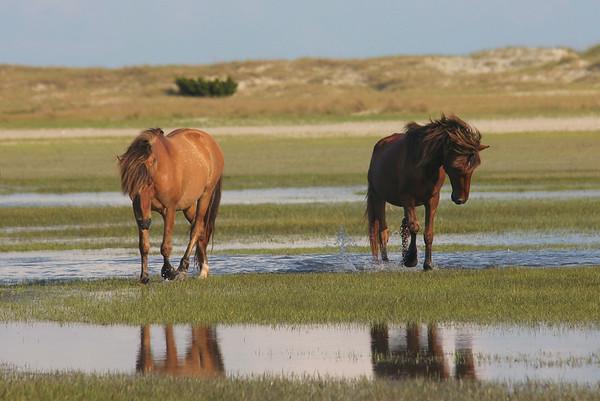 Barrier Island Wild Horses | Carrot Island | North Carolina