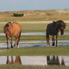 Barrier Island Wild Horses | Carrot Island | North Carolina