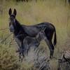 Maternal Instinct (Wild Burro with Baby in Beatty, Nevada)