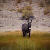Nothing but Time (Wild Burro Munching Grass in Beatty, Nevada)
