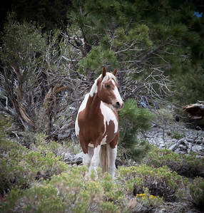 An American Mustang / Paint Stallion