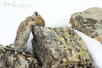 """The """"Stretch and Twist"""" American Pika"""