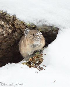 Snowy Face-American Pika
