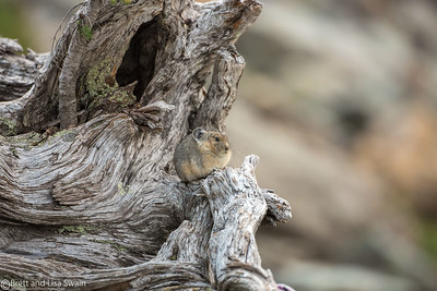 Front Porch Sittin'-American Pika