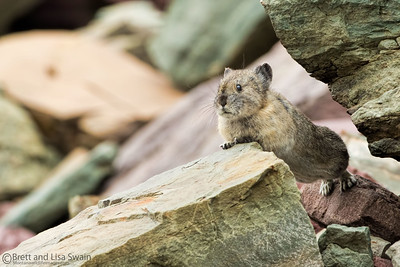 """The Morning Stretch"" American Pika"