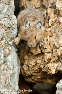 Pika In the Crevice
