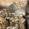 American Pika with Branch