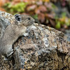 """I Can Do This""-American Pika In Fall"