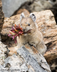 Pika on Red