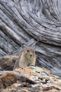 Pika With Wood Background
