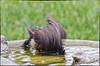 American Robin energetic bath