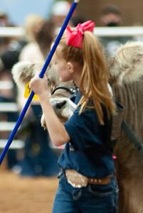 americanroyal2020_cattle_showmanship014