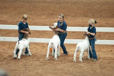 americanroyal2020_goat_showmanship006