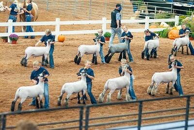 americanroyal2020_sheep_showmanship015
