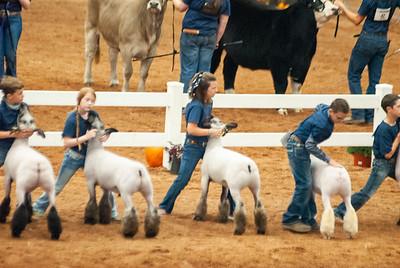 americanroyal2020_sheep_showmanship017