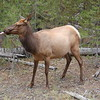 Elk, Yellowstone, Wyoming.