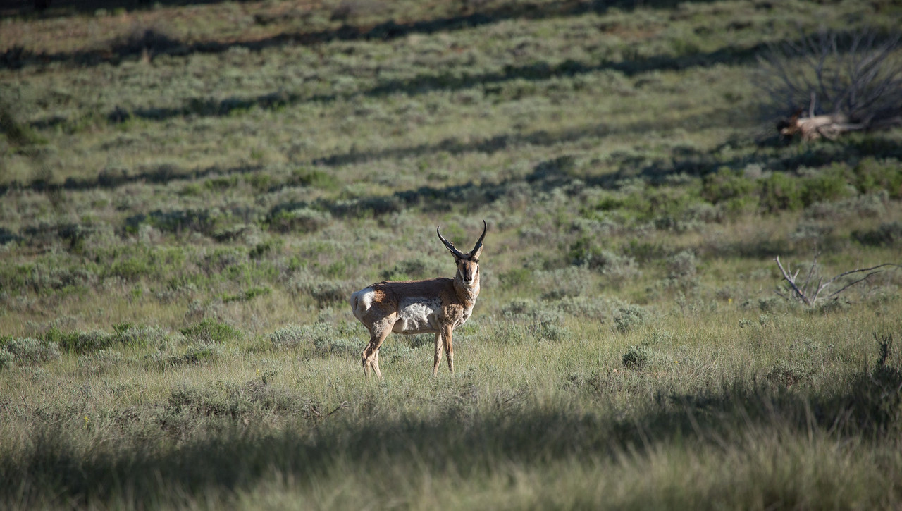 The Pronghorn Antelope (Antilocapra americana)