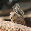 Antelope squirrel