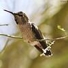 Anna's hummingbird female