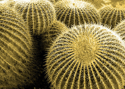 Non-native barrel cactus at the Desert Botanical Garden, Phoenix, Arizona.
