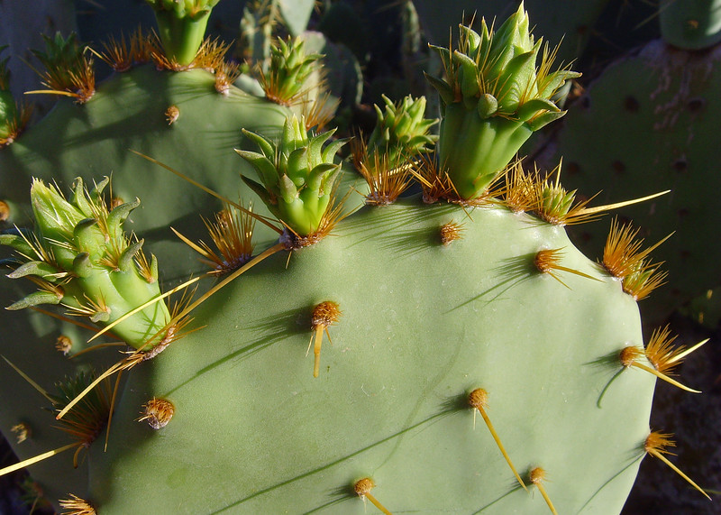 New growth on a prickly pear cactus.