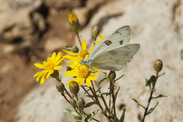 A checkered cabbage butterfly dines on summer flowers.