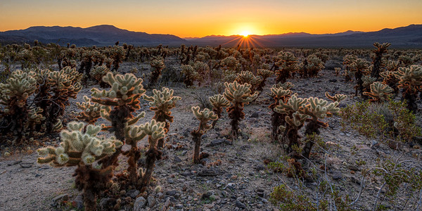 Cholla Garden Sunrise