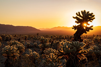 Teddybear Cholla Sunrise