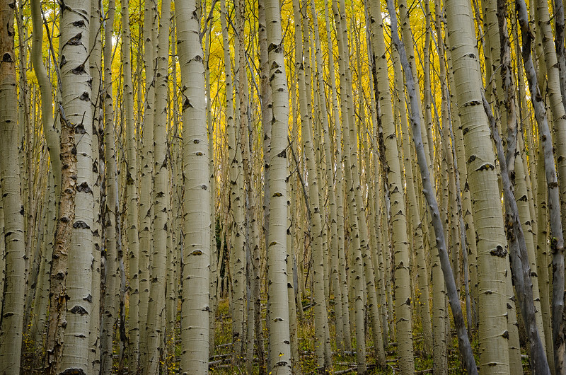 Aspens, Sangre de Cristo Mountains