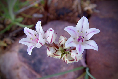Wild onion growing in the Tonto National Forest, Arizona.