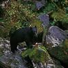 black bear dining on salmon