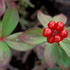 bright red berry cluster