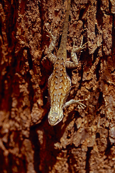 Eastern Fence Lizard at Zion