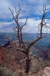 gnarly tree in front of Grand Canyon
