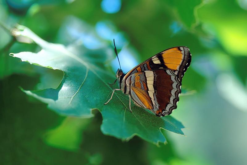 California sister on leaf