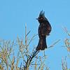 silky flycatcher