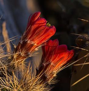 closeup cactus flowers
